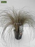 Carex comans Bronze Form