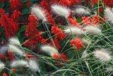 Pennisetum alopecuroides Little Bunny