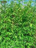 Fargesia Winter Joy 10 Ltr pot - totale hoogte 120-150 cm_
