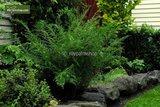 Dryopteris filix-mas Linearis Polydactyla 0,7 Ltr pot_