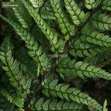 Polystichum tsus-simense 0.7 ltr_