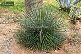 Agave geminiflora pot Ø 28 cm_