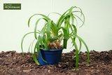Agapanthus africanus White pot Ø 20 cm_