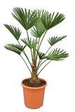 Trachycarpus wagnerianus Frosty pot Ø 26 cm stam 20-30 cm_