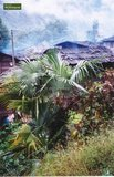 Trachycarpus sp. Nova pot: 0.7ltr._
