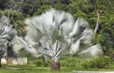 Bismarckia nobilis totale hoogte 100-120 cm_