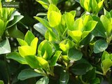 Camellia chinensis pot Ø 23 cm totale hoogte 100-120 cm_