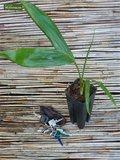 Chambeyronia macrocarpa pot Ø 20 cm_