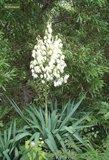 Yucca aloifolia - totale hoogte 35-45 cm - pot 14x14 cm_