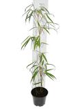 Fargesia robusta Wolong 1 ltr_