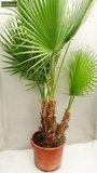 Washingtonia robusta Multistam pot Ø 18cm - totale hoogte 70-90 cm_