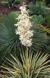 Yucca gloriosa Variegata 14x14 cm pot_
