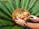 Cycas revoluta pot Ø 38 cm - totale hoogte 70-90 cm [pallet]_