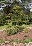 Araucaria araucana 0.7 ltr_
