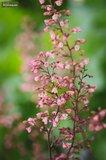 Hesperaloe parviflora pot Ø 36 cm_