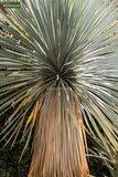 Yucca rostrata totale hoogte 70-90 cm pot Ø 32 cm_