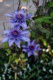 Clematis 'Multi Blue' - 2 Ltr pot_