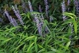 Liriope muscari 'Royal Purple'_