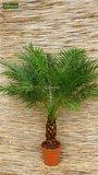 Phoenix roebelenii - totale hoogte 40-50 cm - pot Ø 13 cm_