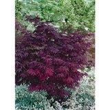 Acer palmatum Atropurpureum donkerpaars - totale hoogte 30-40 cm - 9x9 cm pot_