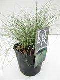 Carex comans Frosted Curls - totale hoogte 40-50 cm - pot 2 ltr_