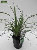 Carex morrowii Ice Dance - totale hoogte 40-50 cm - pot 2 ltr_