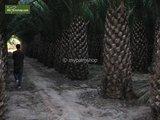 Phoenix canariensis - totale hoogte 140-170 cm - pot Ø 28 cm _