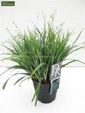 Carex laxiculmis Bunny Blue - totale hoogte 40-50 cm - pot 2 ltr_