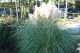 Cortaderia selloana Pumila - totale hoogte 40-50 cm - pot 2 ltr_