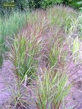 Panicum virgatum Squaw - totale hoogte 50-60 cm - pot 2 ltr_