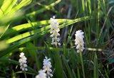 Liriope muscari Monroe White - totale hoogte 30-40 cm - pot 2 ltr_