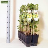 Ribes uva-crispa 'Tatjana' 2 Ltr pot_