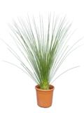 Dasylirion longissimum Ø 32 cm pot_