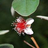 Acca sellowiana - pot 14 x 14 cm_