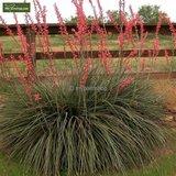 Hesperaloe parviflora - totale hoogte 50-70 cm - pot Ø 26 cm_
