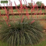 Hesperaloe parviflora - totale hoogte 60-80 cm - pot Ø 28 cm_