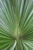 Sabal palmetto - totale hoogte 30-50 cm - pot Ø 13 cm_