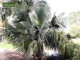 Sabal bermudana - totale hoogte 30-40 cm - pot Ø 13 cm_
