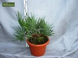 Serenoa repens - totale hoogte 20-30 cm - pot Ø 13 cm_