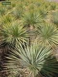 Yucca rostrata - totale hoogte 100-120 cm - pot Ø 38 cm_