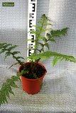 Cyathea cooperi pot Ø 22 cm_