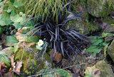 Ophiopogon planiscapus Niger - pot Ø 11 cm_