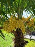 Trachycarpus fortunei - stam 30-40 cm - totale hoogte 130-150 cm - pot Ø 31 cm + 10 ltr palmengrond_