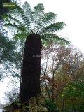Dicksonia antarctica - totale hoogte 60-80 - pot Ø 22 cm_