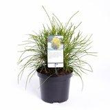 Platycladus orientalis Franky Boy - totale hoogte 40-50m - pot 3 ltr_