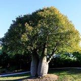 Brachychiton rupestris - struik - totale hoogte 50-60 cm - pot Ø 17 cm_