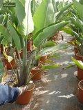 Strelitzia augusta - pot Ø 14 cm_