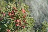 Pistacia lentiscus - pot 2 ltr_