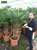 Trachycarpus wagnerianus - stam 20-30 cm - totale hoogte 80-100 cm - pot Ø 30 cm_