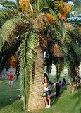 Phoenix canariensis - totale hoogte 30-40 cm - pot 11 x 11 cm_